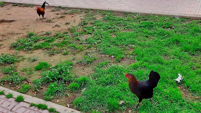 Aceras invadidas por gallinas hambrientas